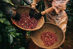Giá cà phê hôm nay không đổi ở các tỉnh khu vực Tây Nguyên dao động trong khoảng 32.200 - 33.100 đồng/kg. Giá tiêu tại tỉnh Bà Rịa - Vũng Tàu ghi nhận giá tiêu tăng 500 đồng/kg. #VietnamBiz #giacaphe #giacaphehomnay Steak, Steaks