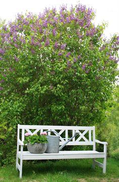 Vakreste duft og buske. Lek i syrin lysthuset på hjemgården gir gode barndomsminner. Idyll.