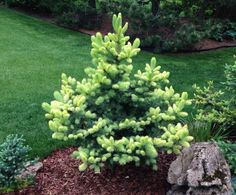 Picea pungens 'Gebelle's Golden Spring'. This is the beauty of Spring growth's color on this little tree