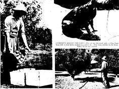 Picking apples at Henderson using a picking apron. Jan 1940.