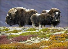 A musk ox family in the Canadian Arctic.