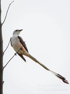 "Scissor-tailed Flycatcher (Tyrannus forficatus). When he/she flies, he seems to struggle to stay airborne, always flying in a ""dipping"" motion, due to the length/weight of such a long tail!  - Have You Ever Tried Running, With Your Feet Tied Together? 