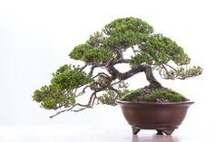 Bonsai by Antony Smith from Willow Bonsai Store / Bonsai Addicts Club #bonsai #hobby #decorative #tree #photography #canon #canonphoto #protofoto #dalton #dingelstadphotography #throughmylens