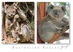 Australian Koala  PC327