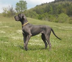 Have a Great Dane.