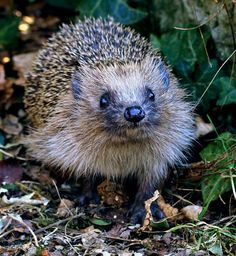 In the 1950s it was estimated there were 36.5 million hedgehogs in Britain, a more recent estimate in 1995 of 1,550,000, we appear to have lost around 30% of the population since 2002 and therefore it seems likely that there are now fewer than a million hedgehogs left in the UK.http://www.hedgehogstreet.org/pages/help-hedgehogs.html