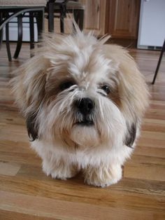 Lhasa Apso, as raças de cachorros que vivem mais tempo