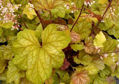 """Heuchera 'Champagne - 'Height 11"""", Spread 14"""". Part shade-shade This is a stunning plant with medium size leaves changing from peach to gold to champagne-gold with a strong white veil overall. Free-flowering maroon stems with light peach flowers most of the season."""