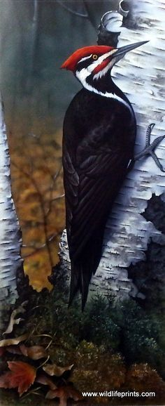 The red, black and white woodpecker works hard against the birch tree in this Giclee by Jerry Gadamus. #birdwatching