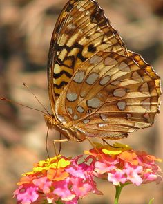 ~~Great Spangled Fritillary butterfly by Vicki's Nature~~