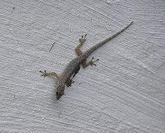 Osga, São Tomé day gecko (Lygodactylus thomensis); ST