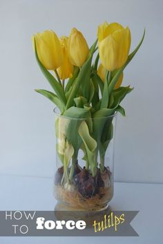 You know you love tulips, and when in full bloom, their beauty is exhilarating! However, did you know that you can force tulips to bloom? With large, early-blooming tulips, it is possible to condition them to bloom any time of the year. The process needs to be precise, and you have to mimic a natural environment. In short, this involves placing tulips in the refrigerator and developing the root system in a vase. Keep reading as eBay details the steps needed to force tulips to bloom.