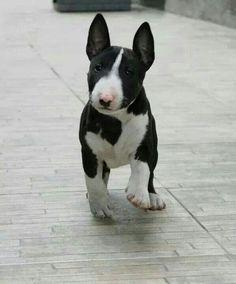 Bt cutie Mini Bull Terriers, Miniature Bull Terrier, Bull Terrier Puppy, English Bull Terriers, Terrier Puppies, Pet Dogs, Dogs And Puppies, Dog Cat, Doggies