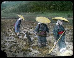 Auf dem Reisfeld:  Eine Gruppe von Bäuerinnen bearbeitet den schlammigen Boden...