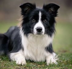 border collie (clementine was part border collie). they are super smart Border Collie Training, Border Collie Puppies, Collie Dog, West Highland Terrier, Border Collie Welpen, Cute Dogs And Puppies, Corgi Puppies, Big Dogs, Chihuahua