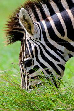 Africa | Zebra. Kruger National Park. south Africa. | © Leigh Diprose