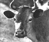 Keeping a cow, like a marriage, is a confining and responsible relationship not to be entered into lightly.  Flirtations, study, an engagement, even a trial marriage are advocated, for dairymen, like fond parents, are unduly enamoured of their heifers.