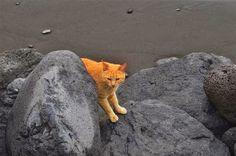 Cat from Tazacorte, Tenerife