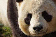 Panda, zoo de Beauval, juin 2017