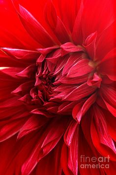 Red Dahlia by Mike N Beautiful gorgeous pretty flowers Color Explosion, Colors Of Fire, I See Red, Simply Red, Red Aesthetic, Shades Of Red, My Favorite Color, Red Color, Lady In Red