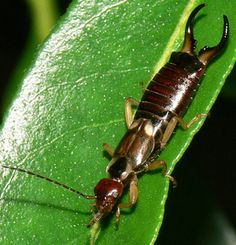 Problems In Growing Tomatoes How Do I Get Rid of Earwigs in My Garden? - Earwigs can be a nuisance, but they are harmless to humans and eat other insect pests. Learn the basics of earwigs and how to control them. Garden Insects, Garden Bugs, Garden Pests, Garden Hose, Design Thinking, Tomato Bugs, Getting Rid Of Earwigs, Organic Gardening, Gardening Tips