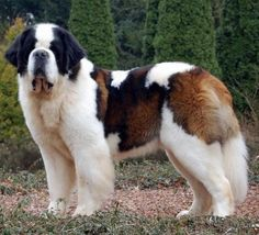 #Saint Bernard - now there's my idea of a dog. no cutesie, yappy ankle biters for me.