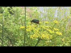 How to Make Japanese Beetle Traps - YouTube