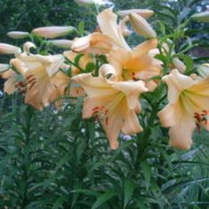 Lilium Saltarello  photo by Moby