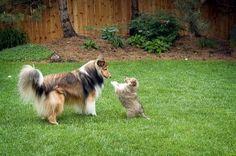 Big brother Fergus and little Dexter; Shelties.