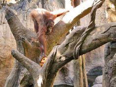 Suli, female Orangutan at the Bioparc Fuengirola, Malaga. (Source Facebook of Bioparc Fuengirola)