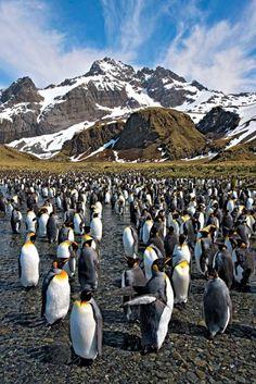 Población de pingüinos en La Patagonia Argentina.