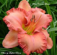 Rose Colored Glasses daylily - Google Search