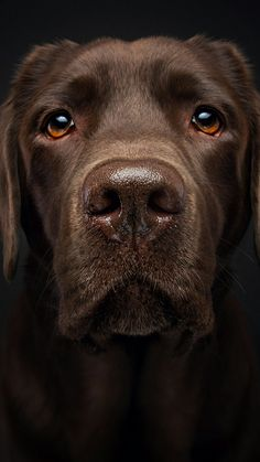 Things I like about the Outgoing Black Labrador Dog Big Dogs, I Love Dogs, Cute Dogs, Dogs And Puppies, Doggies, Labrador Puppy Training, Animals Beautiful, Cute Animals, Animal Noses