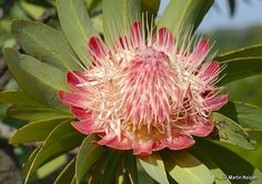 Protea caffra subsp. caffra (Suikerbos, Common sugarbush, Grassland sugarbush) flowering in habitat, West of Johanneburg, Gauteng, South Africa; by Martin_Heigan, via Flickr