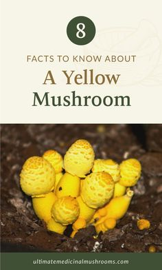 Finding yellow mushrooms in your house plants? Before you rip them off, here are 8 facts about yellow mushrooms that might just change your mind about them. Read on to find out how these unexpected mushrooms can actually help you and your plants. | Discover more about medicinal mushrooms at ultimatemedicinalmushrooms.com Yellow Mushroom, 8 Facts, Mushroom Hunting, Growing Mushrooms, House Plants, Stuffed Mushrooms, Change, Stuff Mushrooms, Indoor House Plants