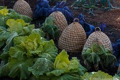 green lettuce and the blue cabbage separated by the beehive baskets