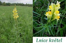 Lnice obecná (lnice květel - latinsky linaria vulgaris) - nápadně pěkné, husté, sytě žluté hrozny květů obdivuji většinou u cest, kde lnicevelmi ráda roste. Někde vytváří i souvislejší porost a působivými barevnými skvrnamidokresluje půvab krajiny. V takových případech je těžké se nezastavit, aby se člověk nepotěšil její krásou zblízka.... Herbs, Plants, Garden, Garten, Planters, Gardening, Outdoor, Home Landscaping, Herb