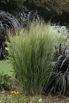 Perennial Solutions: Panicum virgatum 'Northwind' – Greenhouse Product News.... how to divide grasses.