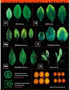 Big Picture Agriculture: Plant Nutrient Deficiency Leaf Illustrations and Charts Reference Guide Hydroponic Farming, Hydroponic Growing, Hydroponic Gardening, Hydroponics, Gardening Tips, Veg Garden, Garden Care, Leaf Illustration, Citrus Trees