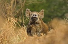 YOUNG WILD BOAR - BY ANDY ROUSE