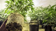 Cannabis Stock Investors Rejoice: The Rohrabacher-Blumenauer Amendment Has Been Approved