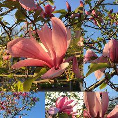 Beautiful Magnolias @botaniskatradgarden  in @goteborg.se #flowers #flowerstagram #flowerphotography #göteborg #goteborg #thisisgbg #botaniska #botaniskaträdgården #magnolia #magnolias #pinkmagnolia #bluesky #blueskies #springtime #spring #sweden