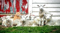 Steve, an eight-month-old cat who spends his days running around inside Amanda Whitlock's home in Waitotara, New Zealand was introduced to a flock of lambs over