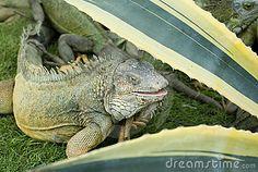 guayaquil, ecuador - Iguana Park