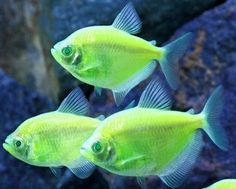 Genetically Modified Glow In The Dark Electric Green Tetra Fish Pose A Risk To Native Species