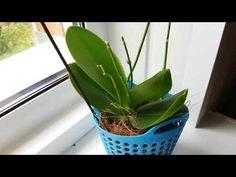 Орхидеи: мега результат за полгода! Дачный обзор фаленопсисов-мультифлор. - YouTube