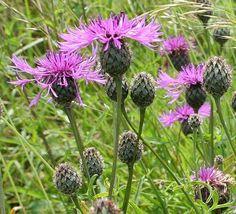 Common Knapweed - Centaurea nigra Mountain Club, Appalachian Mountains, Native Plants, Garden Plants, Habitats, Flower Power, Wild Flowers, Beautiful Flowers, Grass