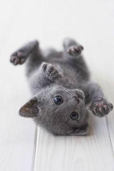 Petit chat gris.