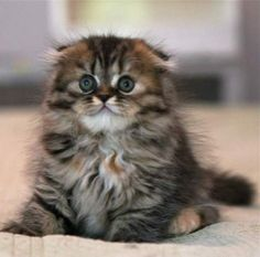 scottish fold munchkin kittens | Cute Cats Pictures