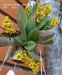 mini orquidea oncidium adulta plantada em madeira de lei !